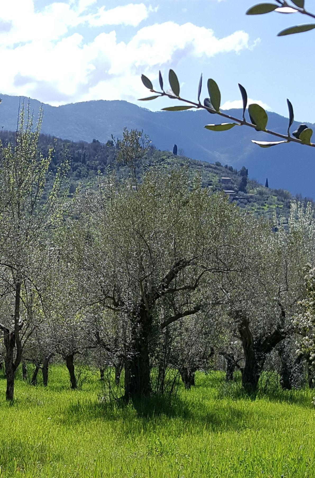 Adotta un ulivo nella Valle dell'Aniene